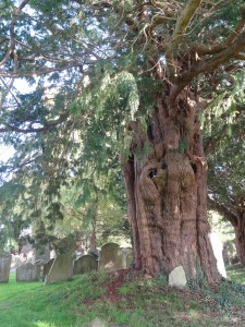 Yew tree said to be almost 2000 years old.
