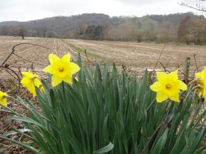 Daffodils and farmland beside church car park